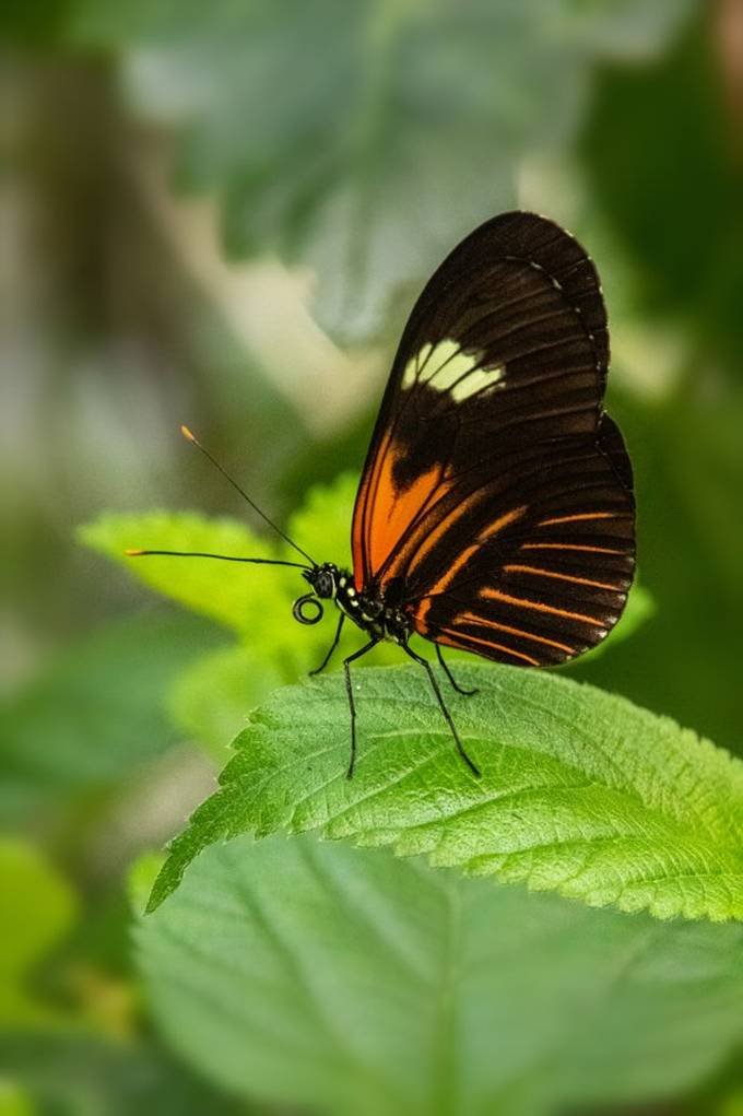 Heliconius melpomene on a leaf