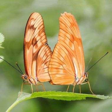 2 mating butterflies