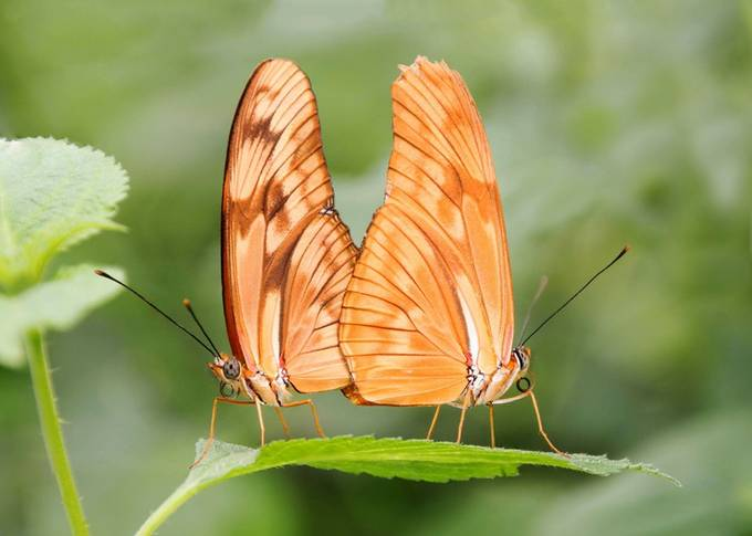 2 mating butterflies