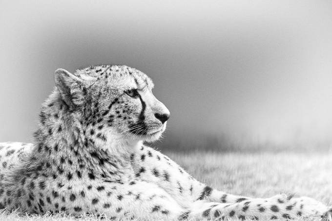 Cheetah, high key. Photo taken in Allwetterzoo in Münster.