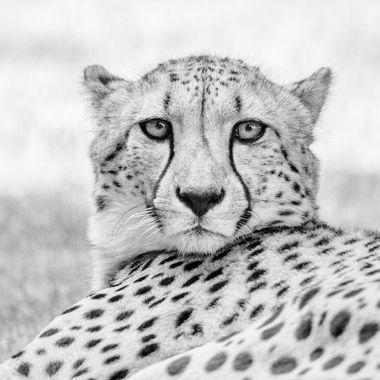 Cheetah, high key. Photo taken in Allwetterzoo in Münster.