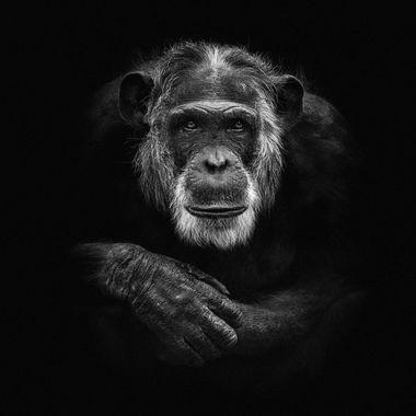 Chimpanzee, photo taken in Dierenpark Amersfoort. Edit: low key on a black background. Edit: low key on a black background.