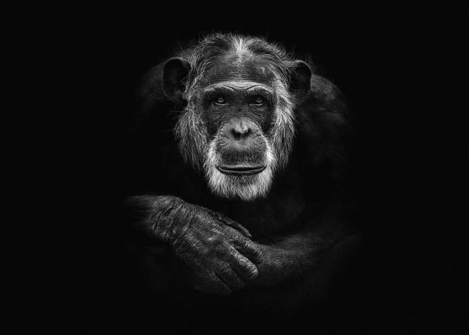 Chimpanzee, photo taken in Dierenpark Amersfoort. Edit: low key on a black background. Edit: low key on a black background.