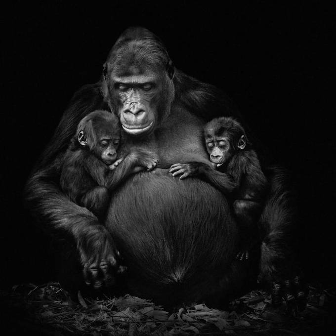 Photo taken of a gorilla mother and her twins. Taken in Burgers Zoo in Arnhem.