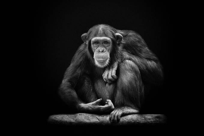 Chimpanzee, photo taken in Dierenpark Amersfoort. Edit: low key on a black background.