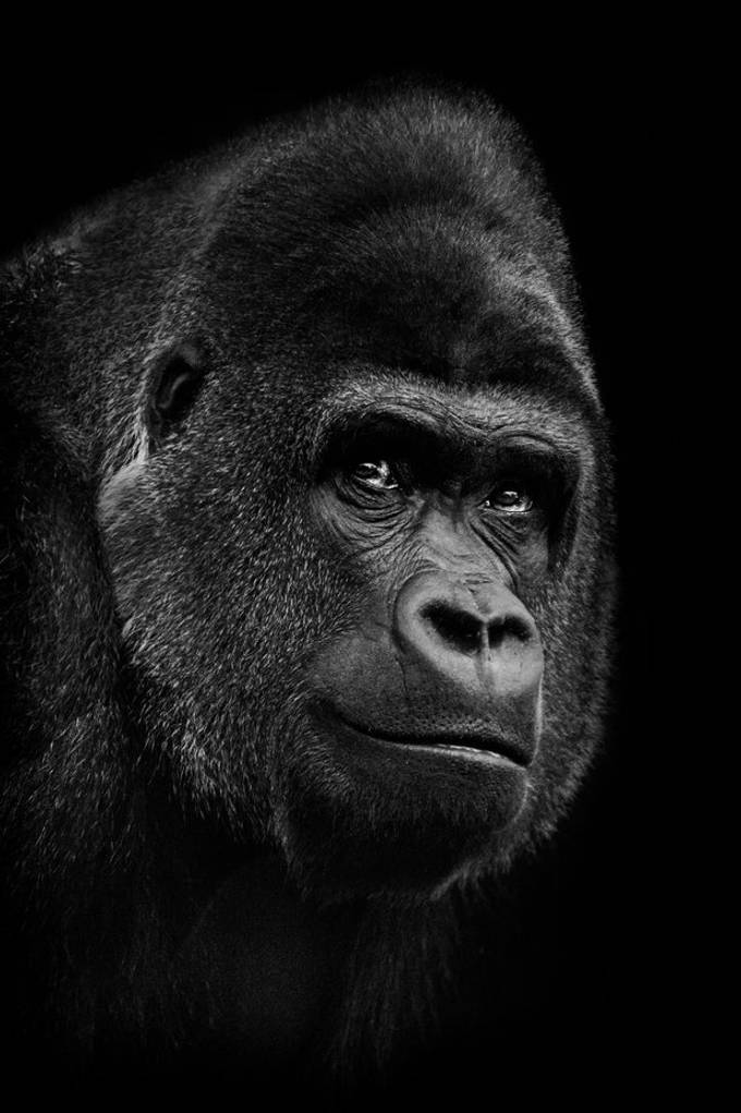 Portrait of a silverback low land gorilla in in Burgers Zoo in Arnhem.