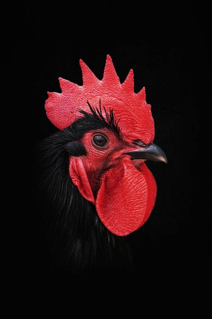 Rooster (Australorp)