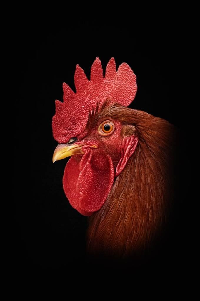 Rooster (Welsumer – Welsummer)