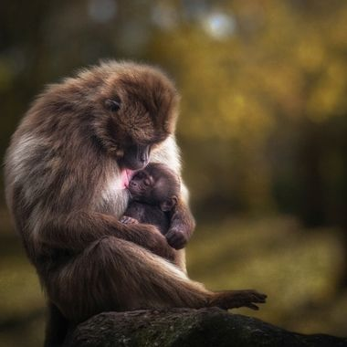 Gelada mother and her baby. Edit: partly new background