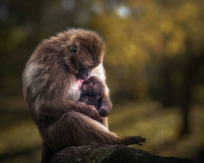 Gelada mother and her baby.