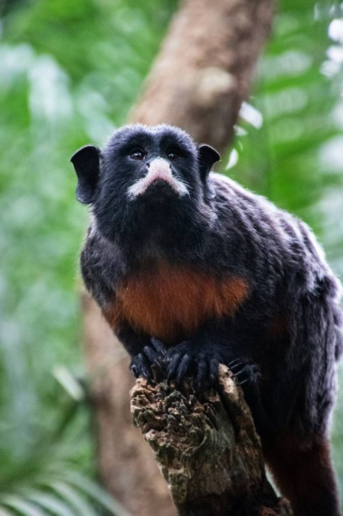 White-lipped tamarin