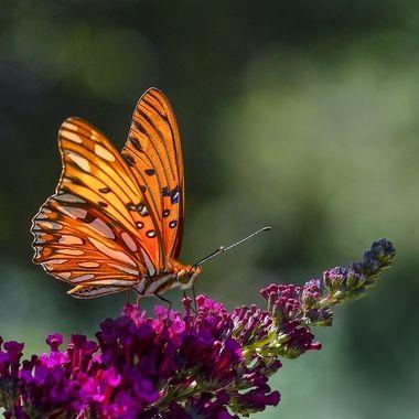 Monarch Butterfly DSC02040