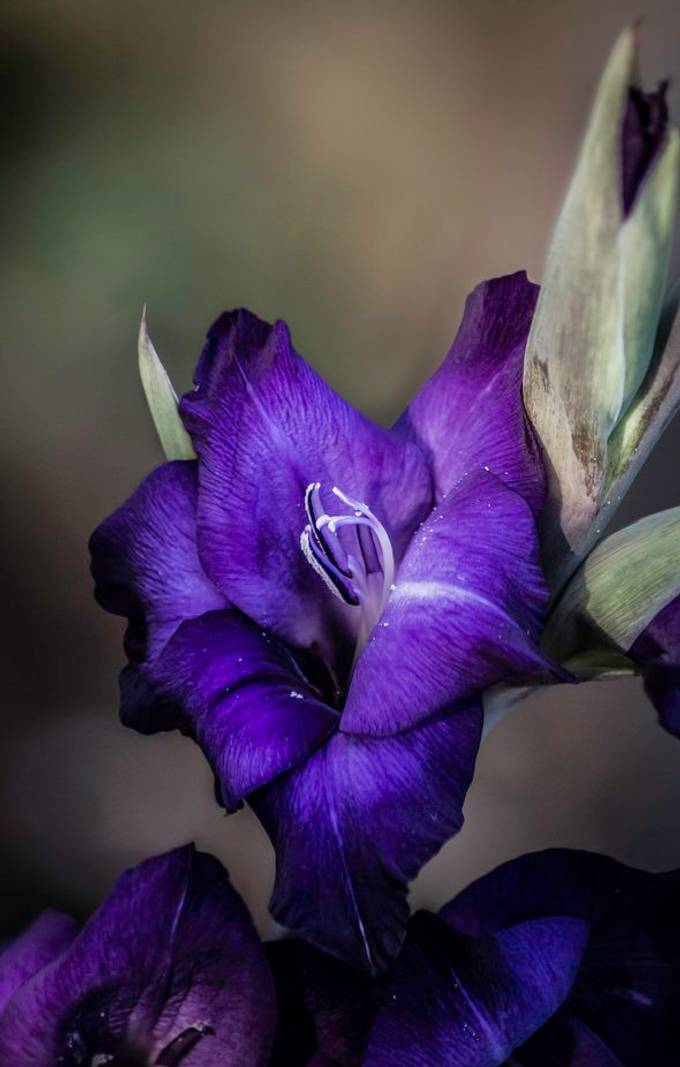 Pyrple gladiolus