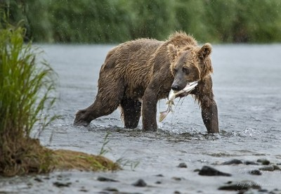 Bears of Geographic Bay, Kodiak, Alaska.
