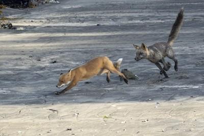 Foxes playing near Geographic Bay. Kodiak, Alaska.
