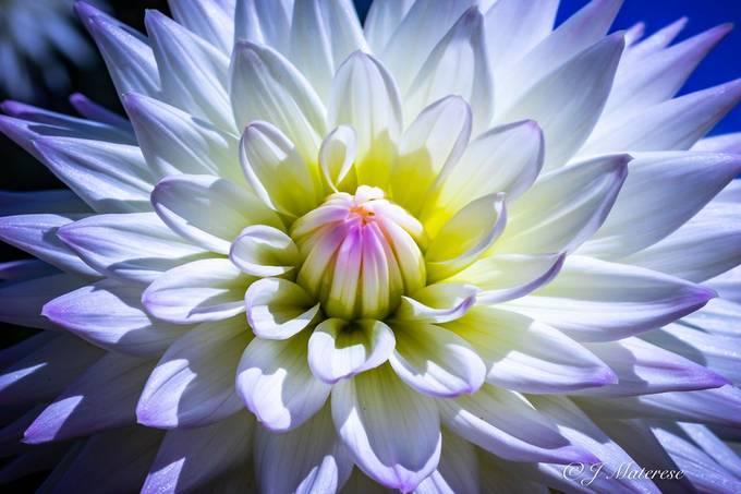 White Dahlia Glowing