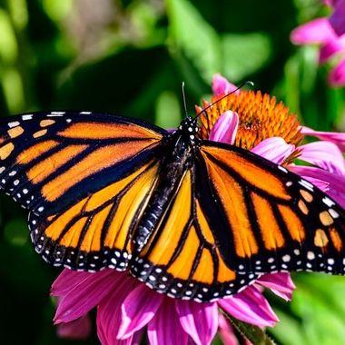Monark Butterfly Release for Hospice