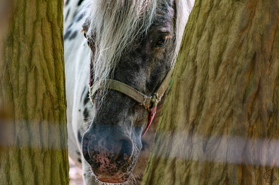 Horse peeking between the barks of two trees. Made this shot in Breda, Netherlands.
