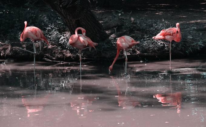 Flamingo_DSC0833