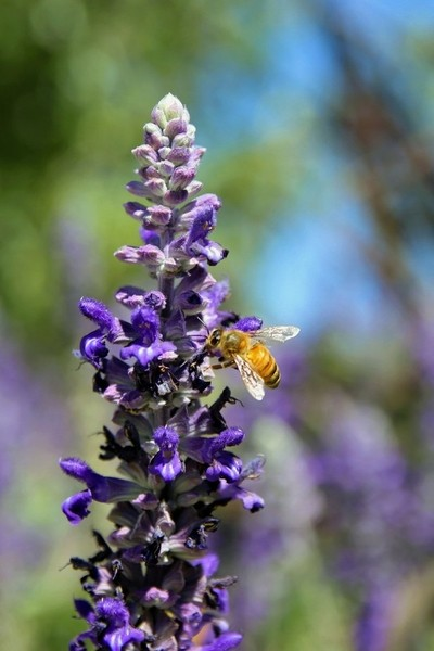 Honey Bee and Lavender #1