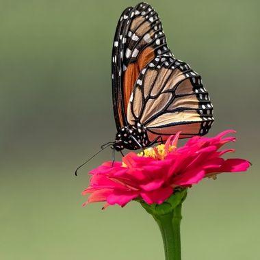 Monarch in my Garden