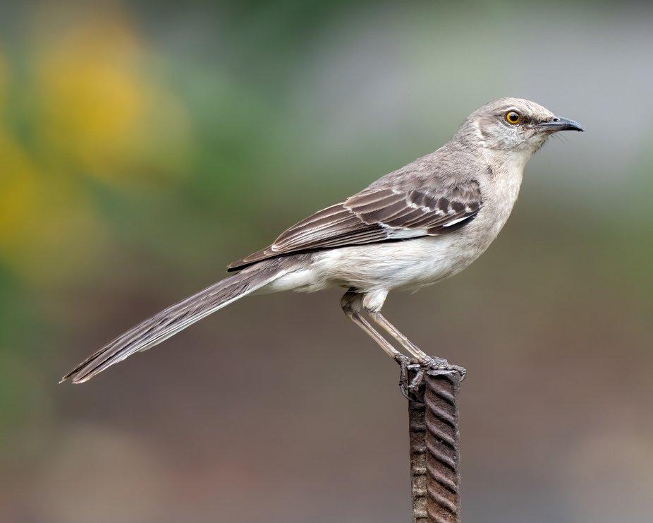 Mockingbirds have beautiful form
