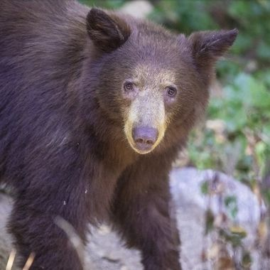 This young bear wanted to pass right in front of me on the path 20 feet away.  I said Hi and smile trying to let it know it's OK with me.  It hesitated and when turned back.  Then it decided to proceed to pass from the right to the left. Then it turned around and curiously looked at me.  That's when point the lens directly at it and shot a few photos of it's face.  It was too close for me to get the whole body in the frame even though it is a young bear.  This is the second time in my life to encounter a bear this close all by myself.  Thanks to my years spent in Montana, I was totally relax and welcomed this encounter.  How blessed!
