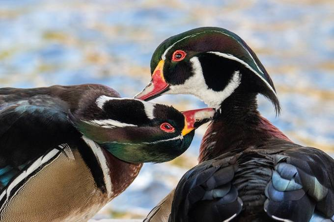 Two wood ducks being nice to each other.