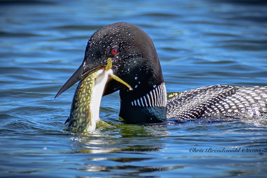 I was so excited to watch this Common Loon bring up this large Northern Pike. It took him awhile ...