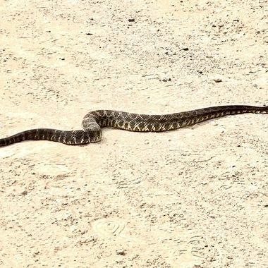 Almost ran over this rattler on my mountain bike in the Santa Monica mountains!
