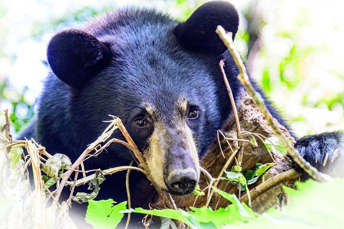 A friendly black  bear posed for me on the end of a broken off tree