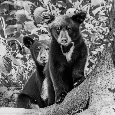 This little black bear cub stood his ground in from of it's sibling