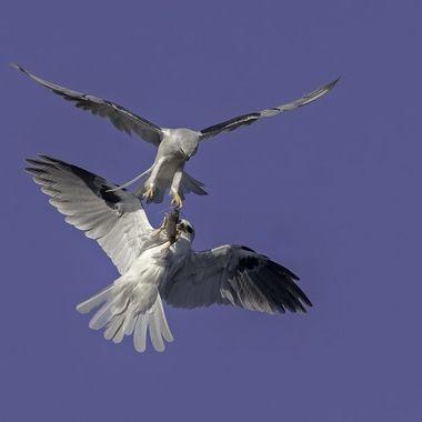 White-tailed Kite food transfer DSC03196