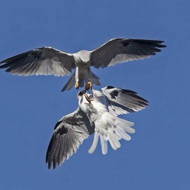 White-tailed Kite food transfer DSC03112-1