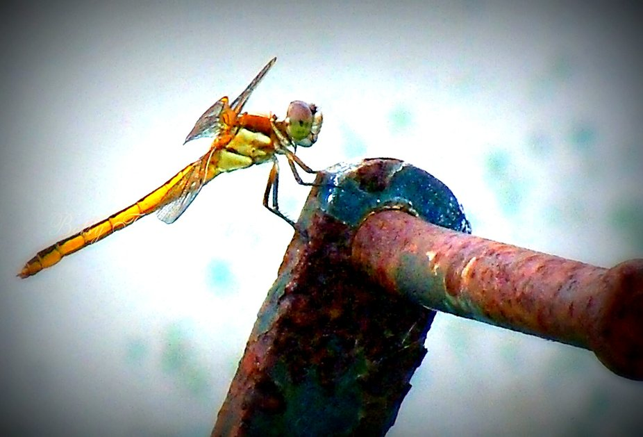 Golden Dragon Fly