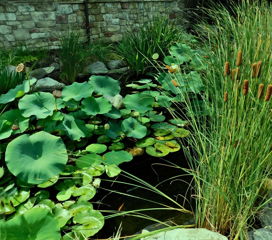 Water lilies and reeds  818