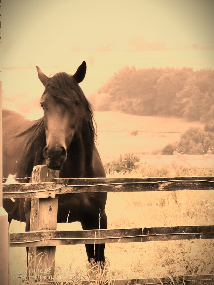 Bueatiful black horse  with  small white white blotches.  He has such dark deep eyes. Pools so de...