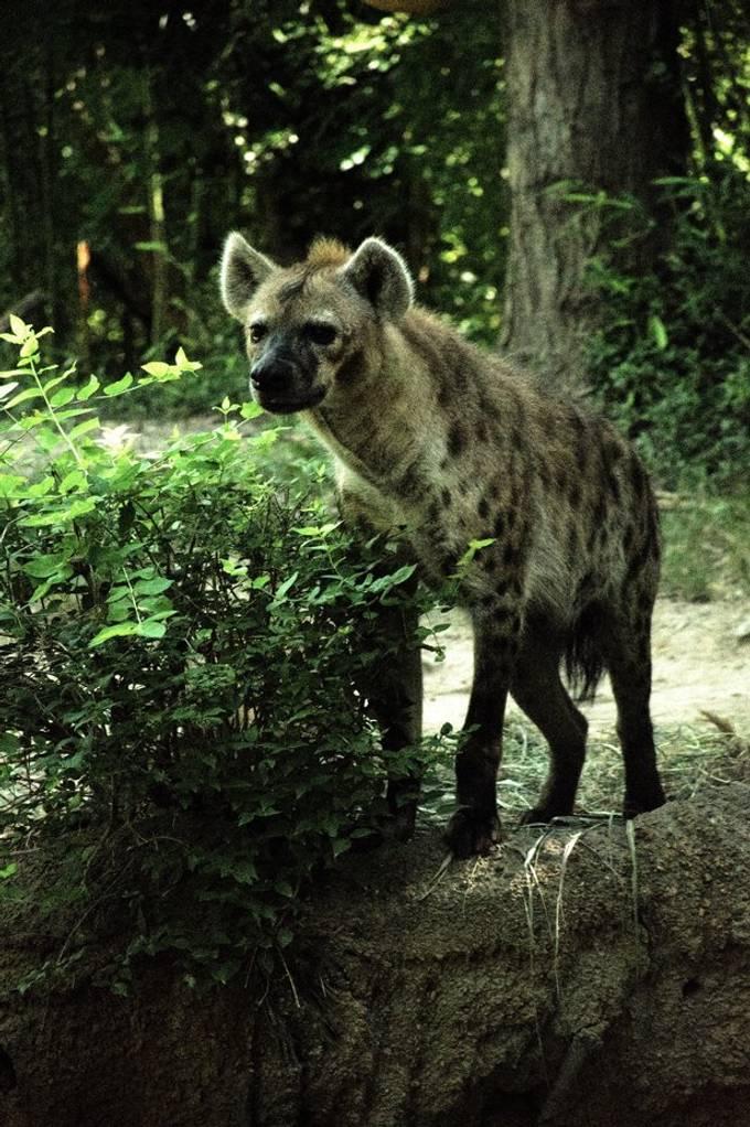 Hyena_DSC0796a