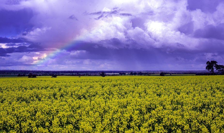 The Canola is beginning to show colour although not fully yet. However the promise of more rain w...