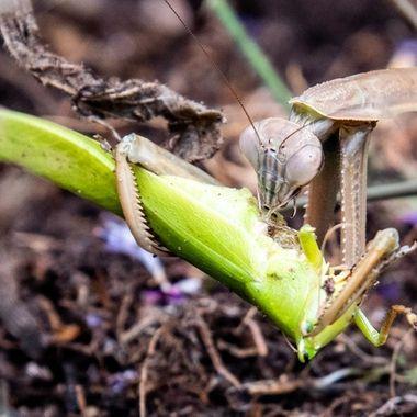 Praying Mantis eating insect.  _DSC1666