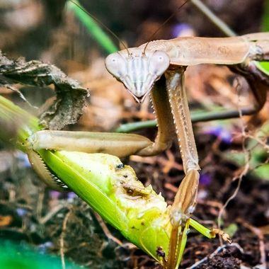 Praying Mantis eating what may be another Praying Mantis  _DSC1664