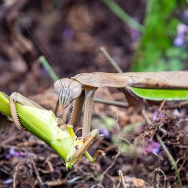 A successful hunt of a Praying Mantis in our garden
