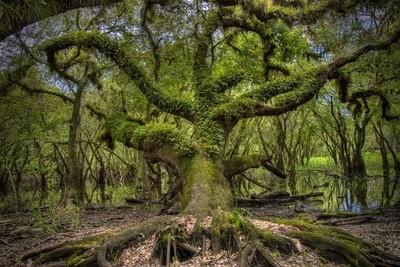 Fern covered oak