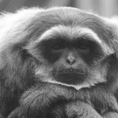 Monkey portrait in mono