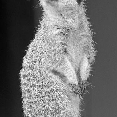 Meercat in black & white