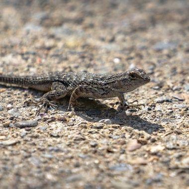 Lizard in Balboa Park in San Diego.
