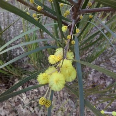 Spring Wattle