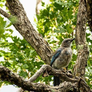 California Scrub Jay at Garden of the Gods