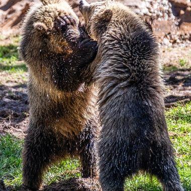 Young Grizzly's at Bearizona. Williams, AZ. 1