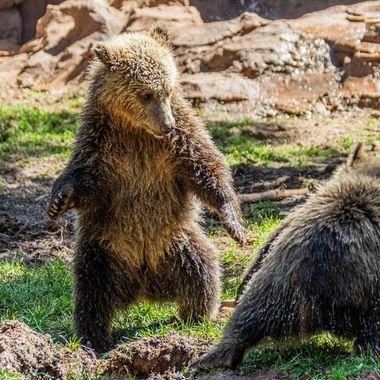 Young Grizzly's at Bearizona. Williams, AZ.2